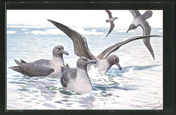 AK Rauchgraue Albatrosse im Wasser 0