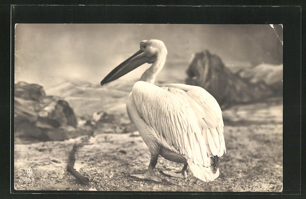 AK Ein Pelikan am Ufer 0