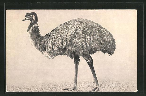 AK Ein Emu beim Gang 0