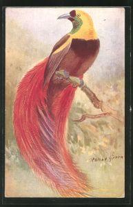 Künstler-AK Ein Raggi-Paradiesvogel