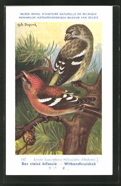 Künstler-AK Bindenkreuzschnabel auf einem Baum