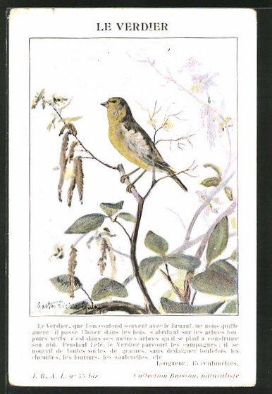 Künstler-AK Ein Grünfink auf einem Ast