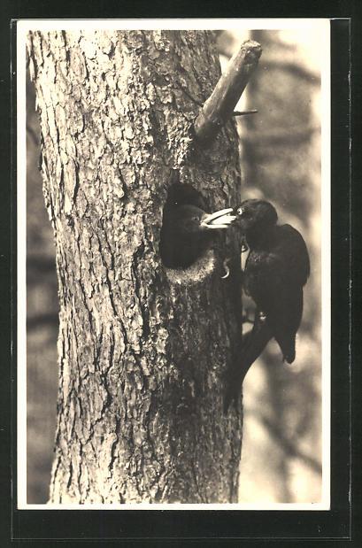 AK Schwarzspecht an einem Baumstamm 0
