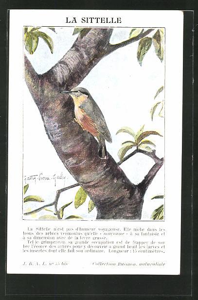 Künstler-AK Ein Kleiber auf einem Baum 0
