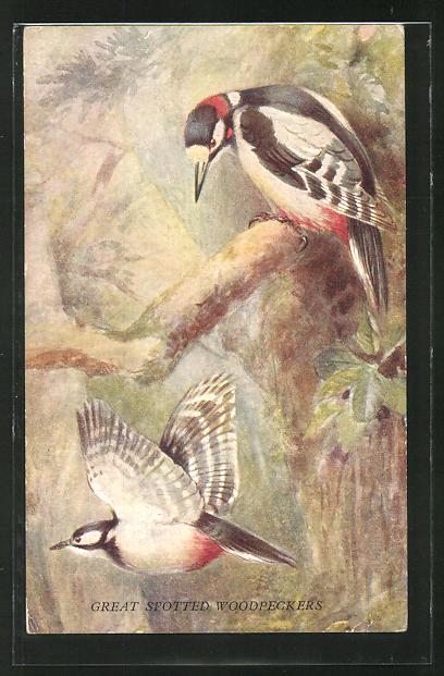 AK Great Spotted Woodpeckers, Spechte im Wald 0