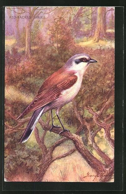 AK Red-Backed Schrike, Vogel im Wald 0