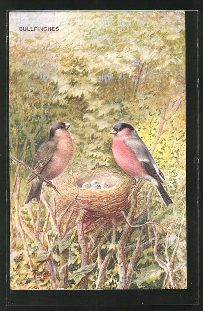 AK Bullfinches, Vögel mit Nest 0