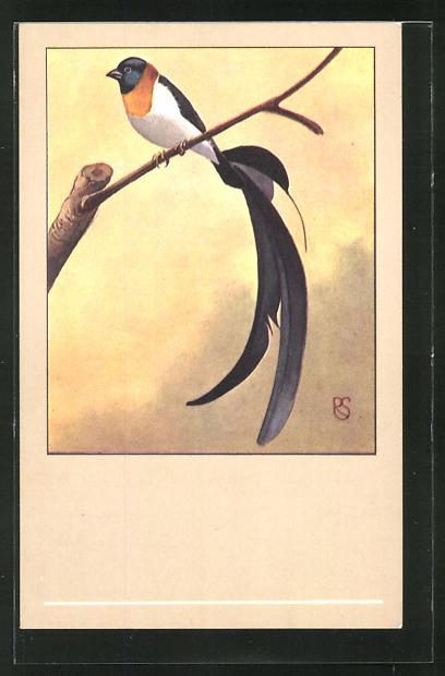 AK Paradieswitwe auf einem Zweig