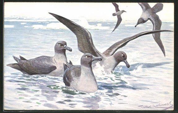 AK Rauchgraue Albatrosse im Eismeer