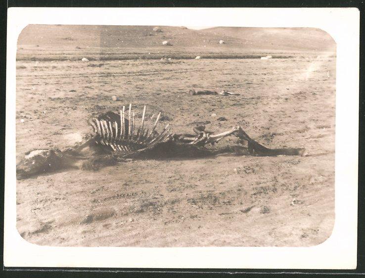 Fotografie 1.WK, Skelett eines Pferdes auf Schlachtfeld liegend