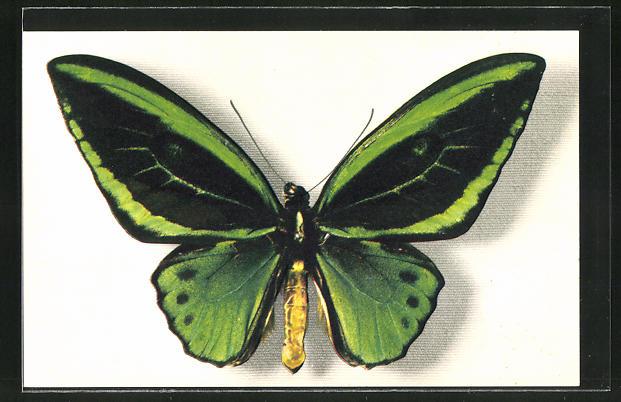 AK Comité National de l'Enfance, Ornithoptera Aruana, Schmetterling