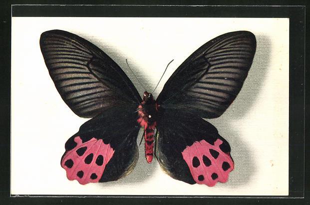 AK Comité National de l'Enfance, Papilio Horishanus, Schmetterling