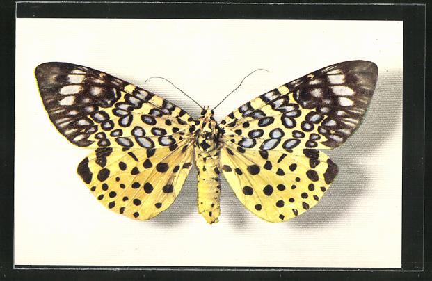 AK Comité National de l'Enfance, Moorea Argus, Schmetterling