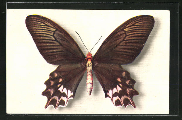 AK Comité National de l'Enfance, Papilio Semperi, Schmetterling