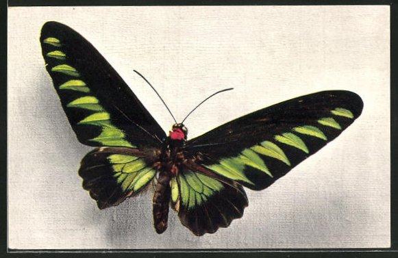AK Comité National de l'Enfance, Ornithoptera Brookeana, Schmetterling