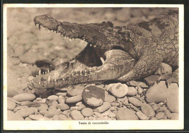 AK Krokodil liegt ruhig in der Soinne