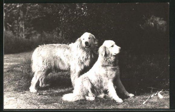 AK Chiens de Pyrenées, Pyrenäenberghunde