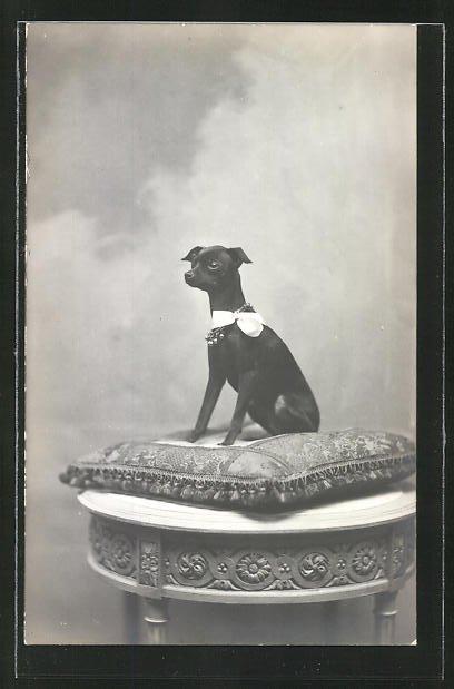 Foto-AK Chihuahua mit Schleife um den Hals auf einem Polster