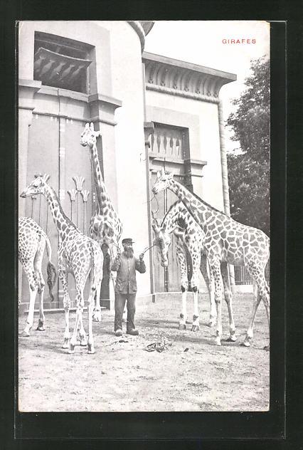 AK Anvers, Jardin Zoologique, Giraffen im Zoo
