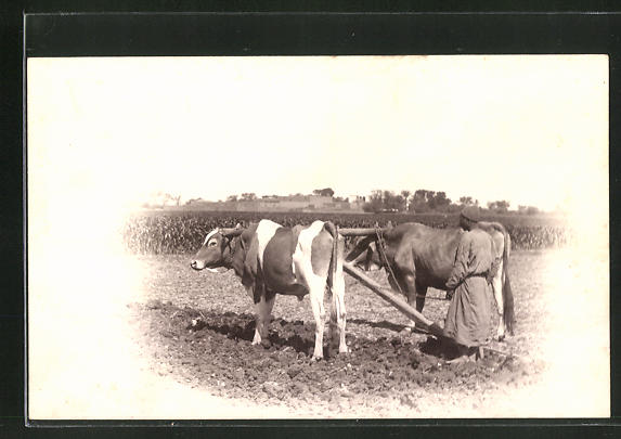 AK Ägyptisches Ochsen-Gespann bei der Arbeit auf dem Acker