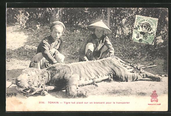 AK Asiaten mit erlegtem Tiger bereit zum Abtransport