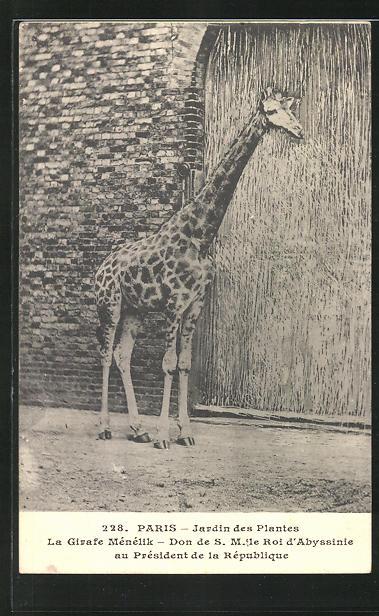 Ak Paris Jardin Des Plantes Giraffe Im Zoo