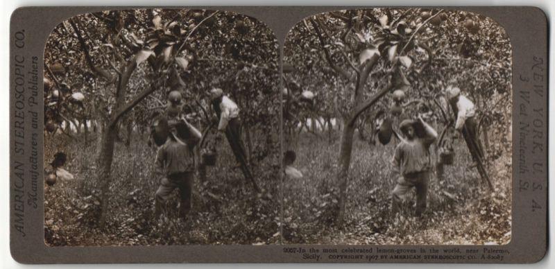 Stereo-Fotografie American Stereoscopic Co., Ansicht Palermo, Zitonmenernte
