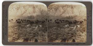 Stereo-Fotografie R. Y. Young, Ansicht Yosemite National Park, Bisonherde