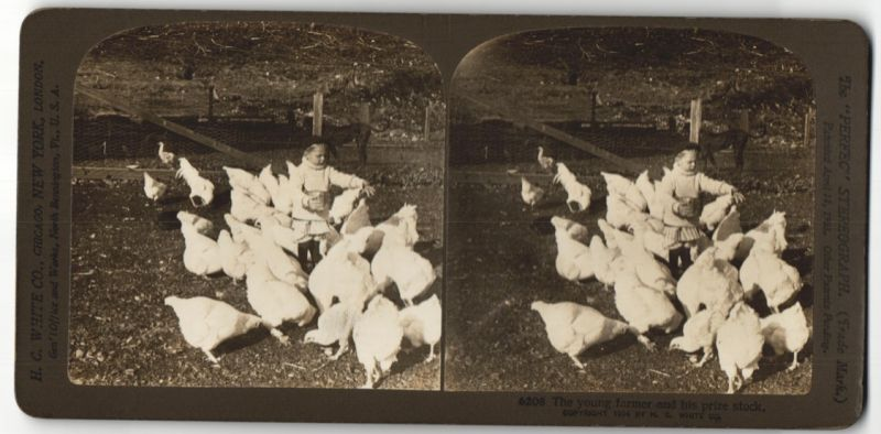 Stereo-Fotografie H. C. White Co., New York, The young farmer and his prize stock, Bub füttert Hühner