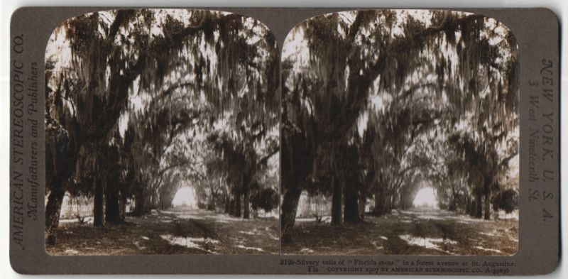 Stereo-Fotografie American Stereoscopic Co., Ansicht St. Augustina, FL, Silvery veils of Florida Moss