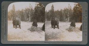 Stereo-Fotografie American Stereoscopic Co., Yellowstone Park, Bären