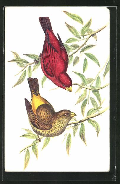 AK Vögel mit rotem und gelbem Gefieder sitzen auf einem Zweig