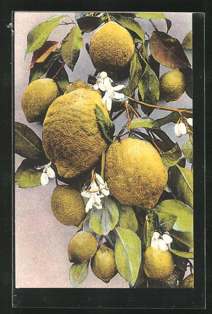 AK Zitronen an einem Zweig mit Blüten