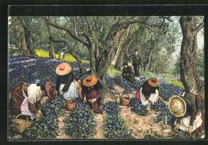 AK La Cote d`Azur, La Cueillette des Violettes, Veilchensammlerinnen, Gärtnerei