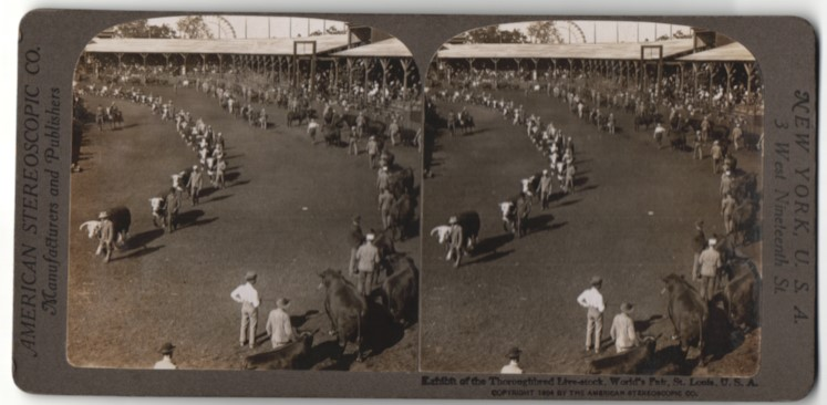 Stereo-Fotografie American Stereoscopic Co., Ansicht St. Louis, MO, World`s Fair, Thoroughbred Live-stock, Rindermesse 0
