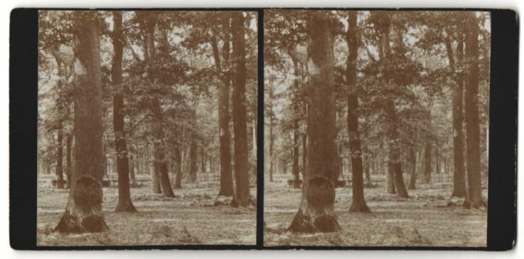 Stereo-Fotografie Fotograf unbekannt, Ansicht Dubrow / Spreewald, Eichenwald am Ortsrand