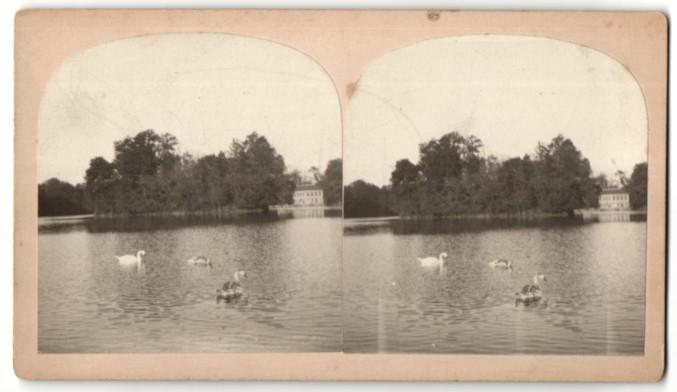 Stereo-Fotografie Schwäne auf einem See 0