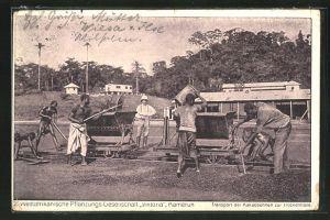 AK Kamerun, 2. westafrikanische Pflanzungs-Gesellschaft Viktoria, Transport der Kakaobohnen zur Trockenhalle