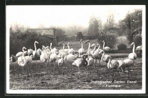 AK Basel, Zoologischer Garten, Flamingos