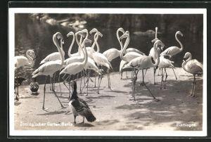AK Berlin, Zoologischer Garten, Flamingos und Enten
