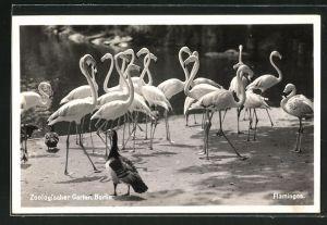 AK Berlin, Flamingos im Zoologischen Garten