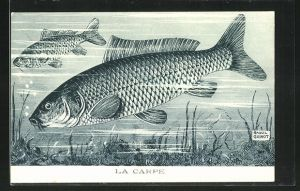 Künstler-AK La Carpe / Karpfen, Cyprinus Carpio Lin.