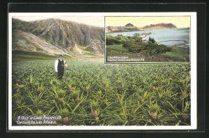 AK Oahu Island, HI, A Field of Libby Pineapples, Libby`s Pineapple Cannery
