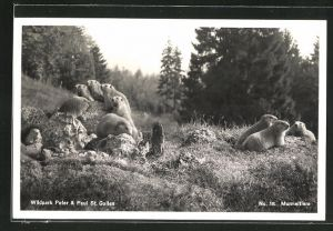 AK St. Gallen, Wildpark Peter & Paul, Murmeltiere