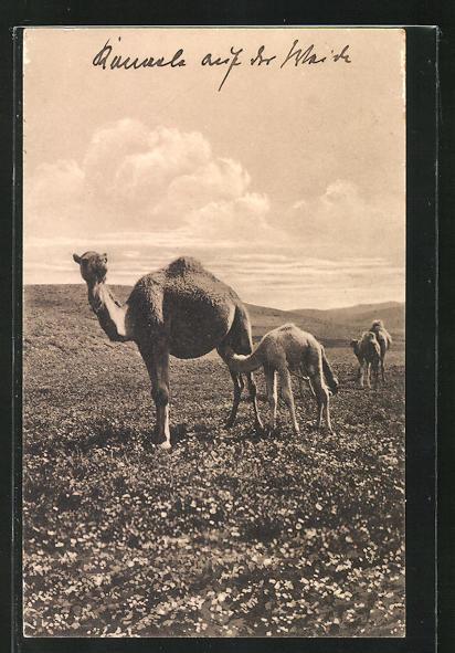 AK Kamel säugt sein Junges