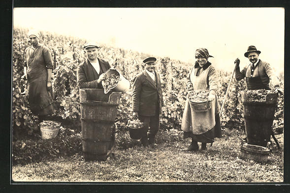 Foto-AK Weinbauern bei der Ernte