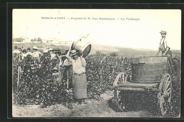 AK Moulin-a-Vent, Propriete de M. Jean Desmarquest, les Vendanges, Weinernte
