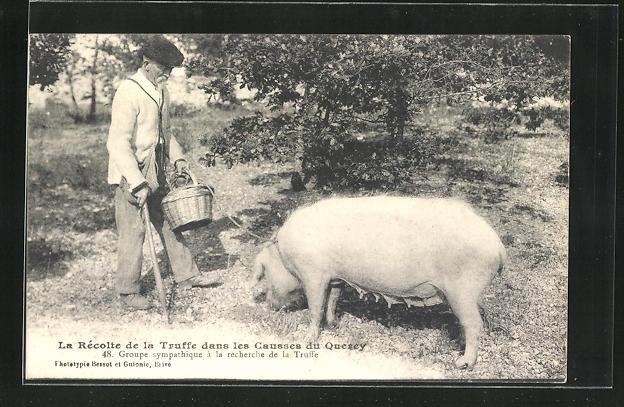 AK La Récolte de la Truffe dans les Causses du Quercy, Trüffelschwein