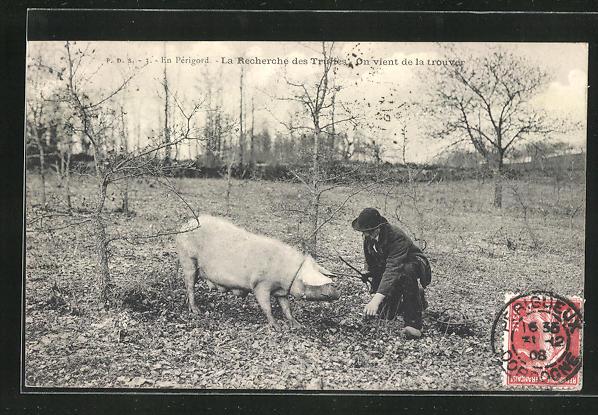 AK En Périgord, La Recherche des Truffes, Trüffelschwein
