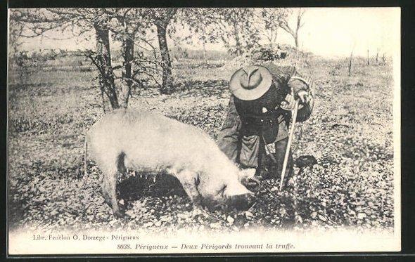 AK Périgueux, Deux Périgords trouvant le truffe, Trüffelschwein